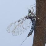Baetidae-041