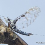 Baetidae-042