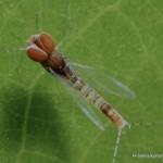 Baetidae-046
