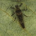 Camelobaetidius