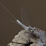 Baetidae-067