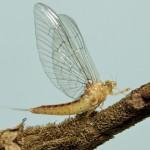 Baetidae-090
