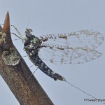 Baetidae-095