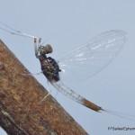 Baetidae-096