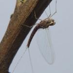 Baetidae-097