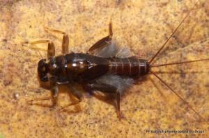 Ulmeritoides